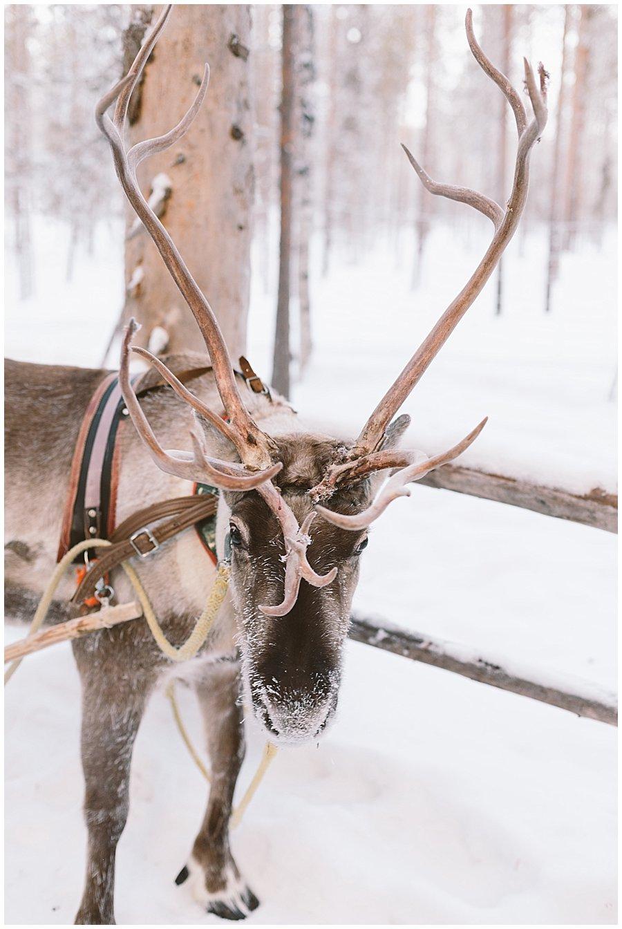 Reindeer Safari Levi Lapland