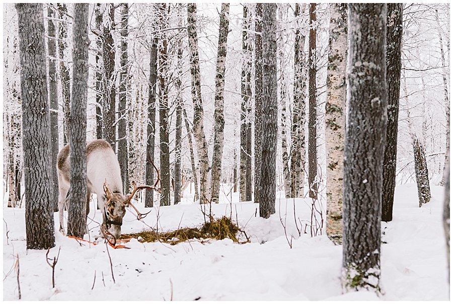 Reindeer Farm Levin Sammuntupa Levi