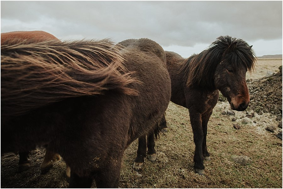 Brown Icelandic horses coming closer to the camera